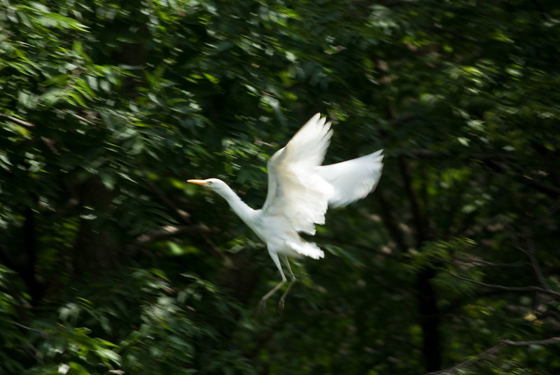 Panning to Show the Action<br><br>And in this shot, a faster shutter speed (1/160 sec) and a slower bird almost completely stop the action.