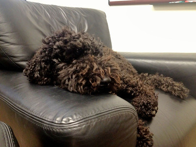 18 Dec 2012: Izzy taking it easy in at the office