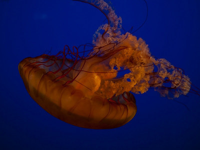 24 Oct 2012: Jellyfish at the Vancouver Aquarium