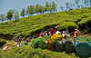 April 24, 2006 - in Munnar, Kerala - an extremely beautiful 'hillstation' with hills of tea plantations. We drove and walked thru tea, drank loads of wonderful fresh tea, smelt tea - this town is all tea. Tea pickers at work here.
