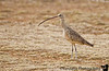 April 4, 2006 - the long-billed curlew came closer today !