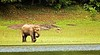 April 23, 2006 - in Periyar wildlife sanctuary, Kerala. Has reportedly about 900-1000 wild elephants in a forest approachable mainly by boating around it on the Periyar Lake. I saw one clear elephant at a distance, many butts and forms seen thru the forest leaves.