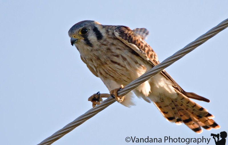 August 28, 2006 - 'The Kestrel pursuit' - It stopped on a wire, I stopped,took out camera, it flew the next second..we did this for about half and hour at least..maybe more, I lost count.. maybe I tired him out :) so he stopped for about 30sec !! not close, this is with 400+2xTC !! closest I have gotten so far ! very exciting :) Good rain early this morning for this - not enuf time for drop relfections!