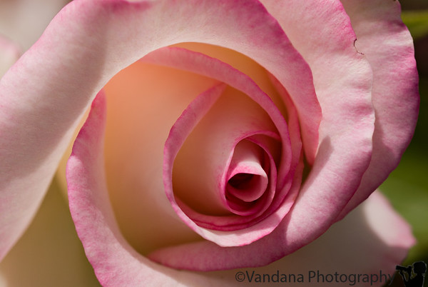 August 22, 2006 - 'rose macro'.   I think post- vacation, I may be in a photographic slump :)