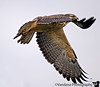"August 20, 2006 - 'Hawk in flight' this guy and some of his friends were very patient with me. Hopped from one pole to another while I adjusted my ISO, speed and all till I got something decent and light failed me. started like <a href=""http://vandana.smugmug.com/gallery/1773243/1/89801226/Large"">this</a> and at other times he just patiently <a href=""http://vandana.smugmug.com/gallery/1773243/1/89802388/Large"">stared</a> at me. Return to NM in very stormy conditions. For once lightning didn't look so cool :)!"