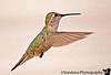 """August 12, 2006 - My first hummingbird !! Lots of pictures I was proud of today -some <a href=""""http://vandana.smugmug.com/gallery/1202617"""">raptors</a> - a hawk, a osprey; some decent <a href=""""http://vandana.smugmug.com/gallery/1527536"""">macros</a>,and these <a href=""""http://vandana.smugmug.com/gallery/1004039"""">hummingbirds</a>! and I havent processed most shots yet! After all, I was born on this day!  Photographing bugs <a href=""""http://vandana.smugmug.com/gallery/560650/1/90067878/Large"""">here<a/> !"""