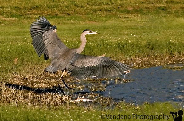 August 31, 2006 - Great blue heron showing off the wingspan !  there're some fish - some dead - lying around there - that's what he wanted ! Hopefully he'll hang around in Sept for me to practise some bif shots :) I think Aug was a good birding month for me !