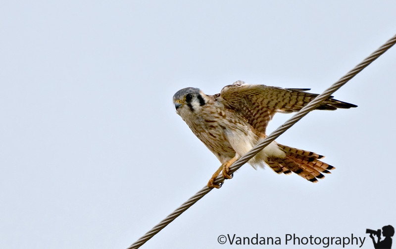August 26, 2006 - American kestrel  Not the best shot, but at least A shot !!400mm clearly not enuf, will need +TC..still takes off at anything nearer.. a trip to the Zoo and gosh, I see tortoises doing it..and I chicken out of putting it in dailies :))