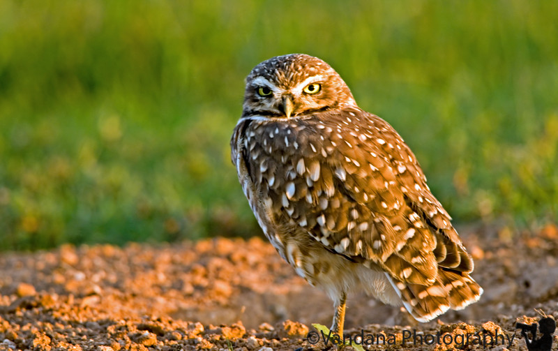 """August 27, 2006 - 'Burrowing owl' in some late evening light; I don't think I've cropped the feet - there's a leaf just there ( hoping :))and handheld 300+TC @ 1/40s - quite proud of that !  <a href=""""http://vandana.smugmug.com/gallery/1773243"""">Colorado  </a> was a little updated ..and  some <a href=""""http://vandana.smugmug.com/gallery/1520822/1/91177428/Large"""">wierd lightning inside of a cloud</a> happened tonight"""