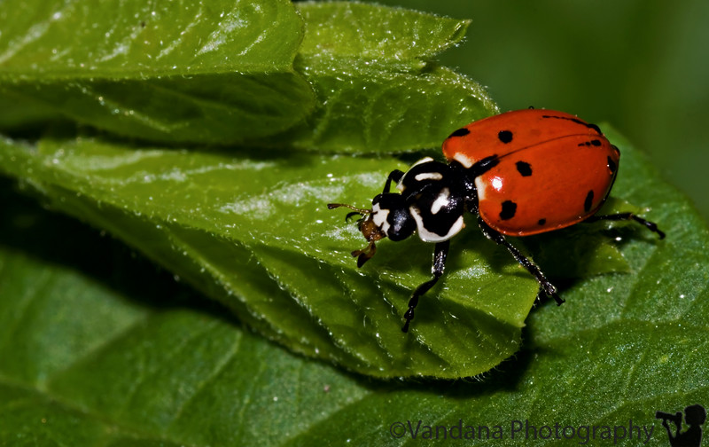 """August 29, 2006 - 'lady on green'  and then it flew away ! I didn't even know lady bugs could fly !! I wasn't prepared for a 'bug in flight' shot :))!  the sun also <a href=""""http://vandana.smugmug.com/gallery/1550049/1/91635070/Large"""">set</a> today, but I thought that's so June :)!"""