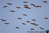 """December 7, 2006 - Canada Geese flying over.. some more <a href=""""http://vandana.smugmug.com/gallery/1004105"""">here</a>  I think they'd be good to catch when I can manage a shutter speed of more than 1/400 or so..one day.."""