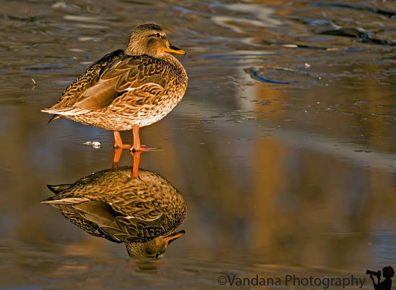 December 5, 2006 - Cold duck<br /> <br /> On ice again -makes some great reflections !
