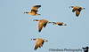 December 8, 2006 - More Canada Geese practice - just managed some evening light as they flew..