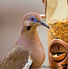 December 6, 2006 - Backyard dove at the feeder..<br /> too many birds, I'll have to turn to macro soon ;)