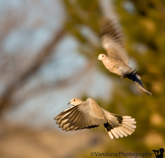 """December 11, 2006 - Doves in flight - another <a href=""""http://vandana.smugmug.com/gallery/1004039/1"""">here</a> ; liked the light here tho  after my mule deer pair, a dove pair..  I was pleasantly surprised today when a huge box full of 20 calenders arrived at my place in mail -addressed to 'calender winners'-  It was the New Mexico 'Scenes of enchantment' 2007 calender printed by the FOX channel and February has <a href=""""http://www.vandanaphotography.com/gallery/789741/1/35048987/Large"""">MY PICTURE</a> titled 'New Mexico rocks' !!!!..Sent long back and forgotten,I guess it must have come on the local FOX news some day, but who watches TV !! first they pick a weekly winner for the year, then feature 12 in the calender.. published as a photographer for the first time :)!!"""