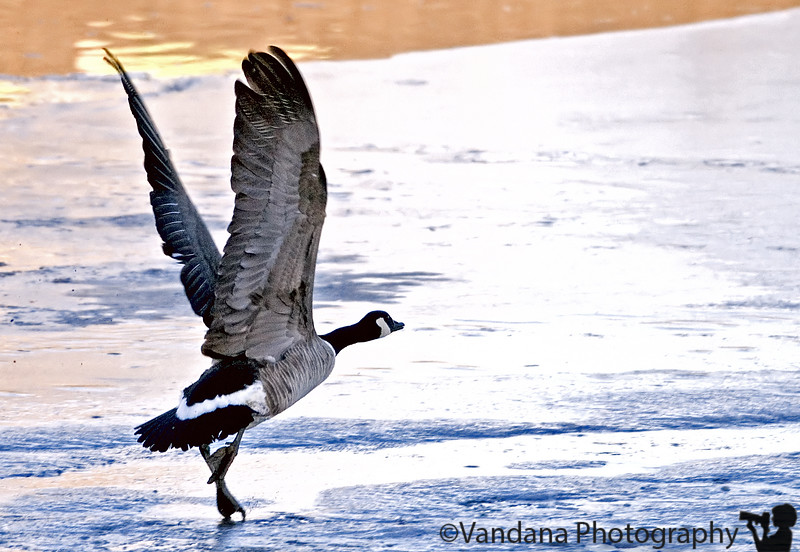 December 3, 2006 - Canada Geese take-off - in an icy lake<br /> <br /> I had to overexpose that to get the wings in decent exposure..they don't look so cool while sitting ,and they open up :)