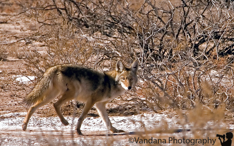 December 25, 2006 - Bosque coyote says hi !