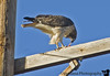 Feb 22, 2006 - On the road in NM again! a Cooper's hawk ( I think) at lunch on a pole.
