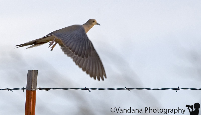 Feb 28, 2006 - a dove in flight. Didn't quite expect it, I had much lower expectations from myself, had it focused on the dove sitting on the fence when serendipity happened and it took off!