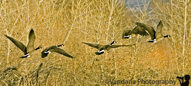 Feb 23, 2006 - In Rio Grande Valley Nature Park, Albuquerque. Some Canada Goose in flight