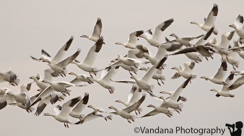 Feb 26, 2006 - snow geese in flight - these migrating birds are almost done with NM and will be travelling north soon enuf. the whole season has gone by and this was my first and probably last day of decent shots of these folks in flight. all prior pics overexposed :(