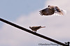 """July 22, 2006 - """"Come on, let's fly away, it's the weekend ! """" - much convincing happened and eventually the other took off too - before and after <a href=""""http://vandana.smugmug.com/gallery/1004039"""">here</a>"""
