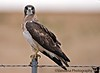 """July 19, 2006 - A Swainson's hawk  gives me the look! Tried to get him in flight, but I was in ISO100, 1/200s - got a blur. More <a href=""""http://vandana.smugmug.com/gallery/1202617"""">here</a>"""