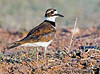 July 10, 2006 - a Killdeer portrait.