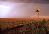June 24, 2006 - A lone flower in the storm.