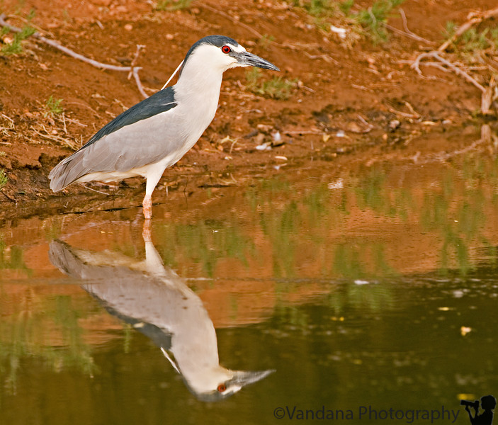"""June 9, 2006 - a black-crowned night heron likes its looks. another with a little ripple effect <a href=""""http://vandana.smugmug.com/gallery/1004003/3/74489392/Large"""">here</a>"""