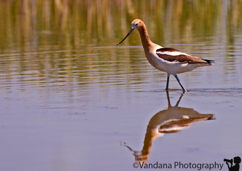 """June 17, 2006 - a portrait of a American Avocet, and some reflections.. at Bitterlake National Wildlife Refuge, NM. Few other processed pics including a take-off for yesterday touch down <a href=""""http://vandana.smugmug.com/gallery/1004039"""">here</a>"""