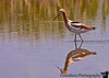 "June 17, 2006 - a portrait of a American Avocet, and some reflections.. at Bitterlake National Wildlife Refuge, NM. Few other processed pics including a take-off for yesterday touch down <a href=""http://vandana.smugmug.com/gallery/1004039"">here</a>"
