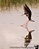 June 16, 2006 - a black-necked stilt makes a neat landing.