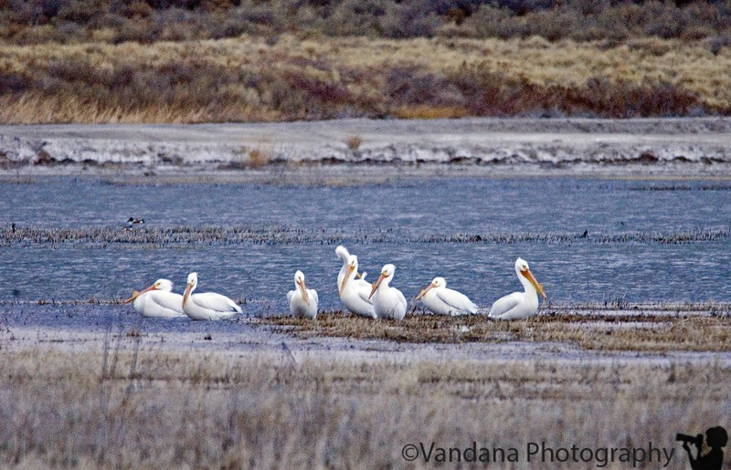 March 19, 2006 - American white pelicans . I seem to recognise them more by their behaviour - white things far off huddled together like in some meeting. late evening at 1600 ISO