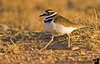 March 14, 2006 - things are looking up ! a killdeer looking good ..