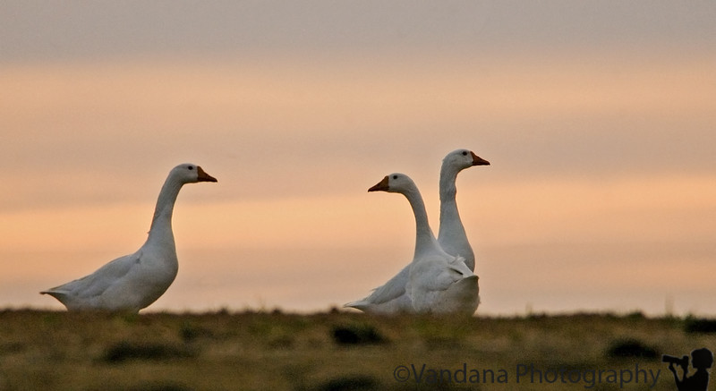 March 29, 2006 - Ducks in the sunset.