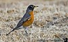 March 28, 2006 - American Robin, a tough bird I found to focus on - it's a fidgety little bird!