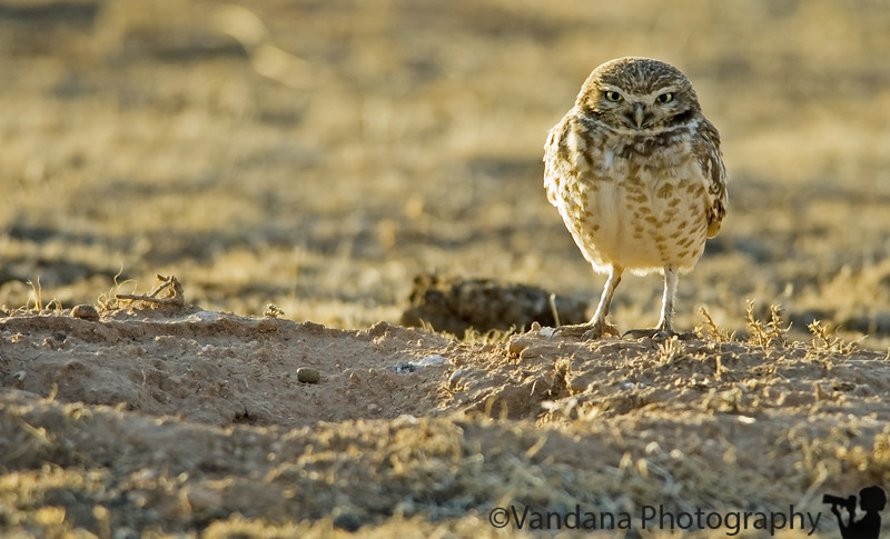March 21, 2006 - suddenly I'm spotting more owls! a burrowing owl protecting its little hole.