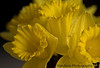 March 13, 2006 - daffodils once represented death.. a young man I know is dying in a faroff land and I'm unable to do anything to help..I wonder if some wrong has been done, I don't know and cannot say..life is unfair and death sucks.<br /> March 16 - I can't believe I actually lost some hope here! extreme depression had set in for some reason, but ..:). Sometimes convincing others of your optimism is half the battle. Daffodils represent hope. this was taken as part of the daffodils day of the ACS.