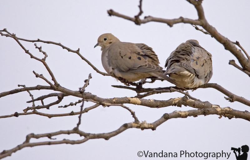March 27, 2006 - doves in love..
