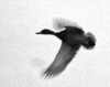 March 1, 2006 - a mallard in flight, PS work with some film grain added for what I hope some coolness factor !