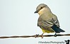 May 4, 2006 - a Western Kingbird ?? I'm making this up from the Bird Book..any ideas ?