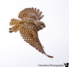"""May 11, 2006 - Finally the owl in flight ! I pursued relentlessly; lost my cellphone in the process, spent an hour searching for it, found it, AND got this. Blew the sky, but WTH ?! my other <a href=""""http://vandana.smugmug.com/gallery/1276627/1/69097230/Original"""">OIF</a>  of today"""