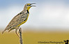 May 20, 2006 - a Western meadowlark making weird noises.