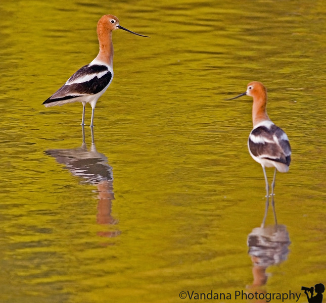 May 25, 2006 - American avocets - they hang out together at this lake, I've been trying to get a decent shot of them together for some time. And the water was really that color - no manipulations ! sunset with reflected colors.