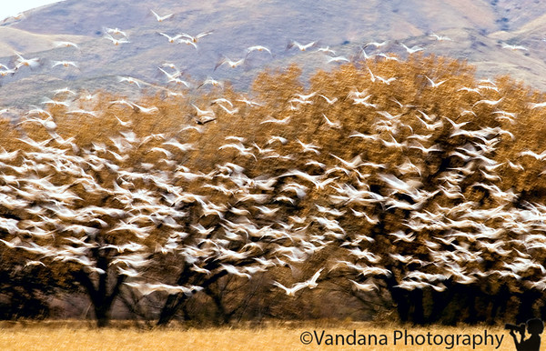 November 26, 2006 - Snow geese take-off It's quite overwhelming to see hundreds of snow geese take off at the same time - I tried here a sortof abstract with a low shutter speed to get that rush! I got some good Bosque shots today; some sandhill cranes in flight today - it was a good day, just a little cloudy, but wonderful skies - one fellow loomed in my frame and filled it and I didn't loose my cool- rather proud of that :) Hopefully I'll be in Bosque another weekend soon :))- care to join ?!