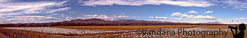 November 27, 2006 - Bosque Pano<br /> <br /> My very first attempt at a panoramic image - very exciting experience, stitched from 6 images..<br /> Just an attempt at showing off Bosque so you all come !! those whites are of course fields full of snow geese, this is just roadside, of course for the easy photographing experience :)) some sandhill cranes flying around and nice blue skies !
