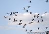 """November 12, 2006 - the sandhill crane addiction  More sandhill cranes in flight in formation..More <a href=""""http://vandana.smugmug.com/gallery/2125499"""">here</a>"""