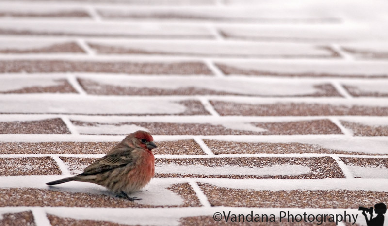 """November 30,2006 - Snow  the little finch huddled over on the snowed out roof, while <a href=""""http://vandana.smugmug.com/gallery/1147110/1/113999442/Large"""">others</a>  waited on the fence for some warm food.."""