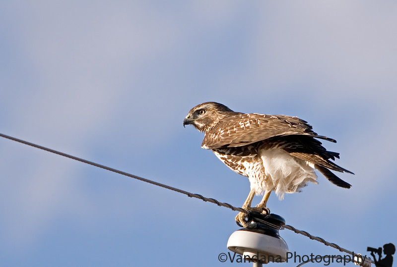 November 14, 2006 - 'Hawk on the pole' <br /> <br /> don't know what hawk he is, but you wouldn't believe what he did next !! I was pretty pleased to get a sharp eye tho. I wish he was in some natural surroundings but I rarely see one that way !